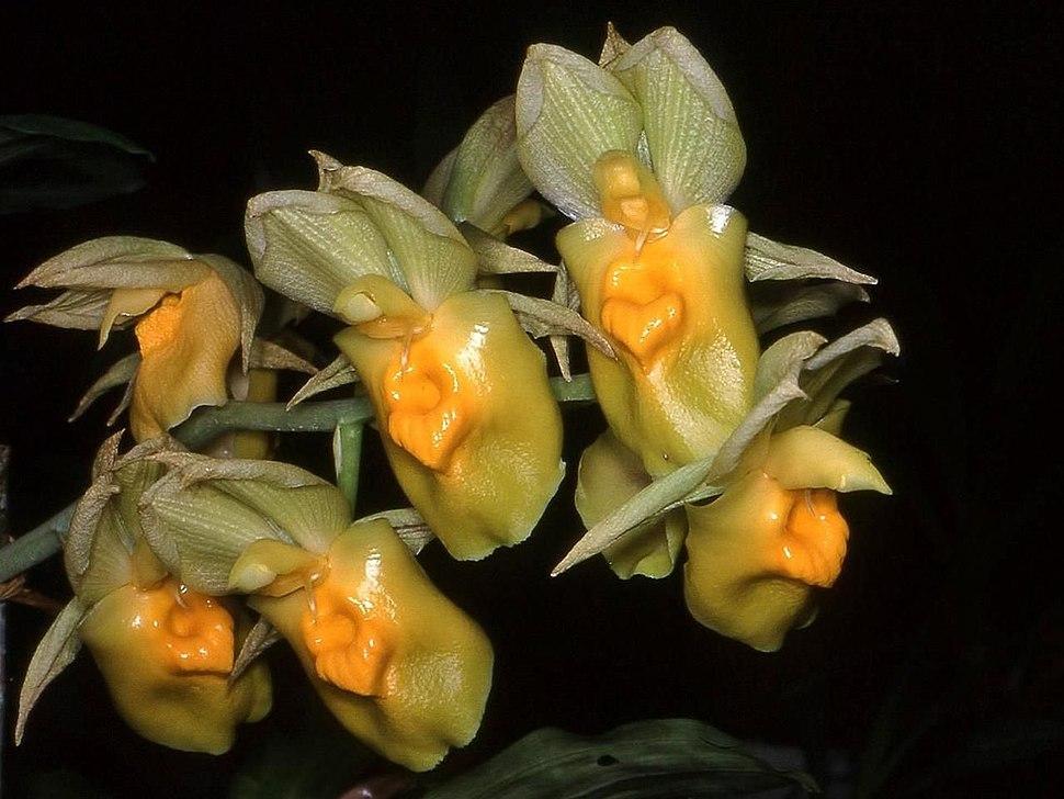 Catasetum expansum Orchi 01