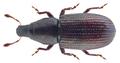 Caulotrupis aeneopiceus (Boheman 1845) Syn.- Caulotrupodes aeneopiceus Boheman, 1845; Pseudophloeophagus aeneopiceus (Boheman, 1845) (24835900282).png