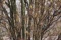 Cedar waxwing (25820598982).jpg