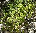 Celtis reticulata 1.jpg