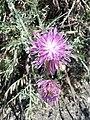 Centaurea aeolica Salina 0213.jpg