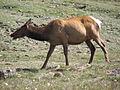 Cervus canadensis (North American elk) 9 (8290359165).jpg