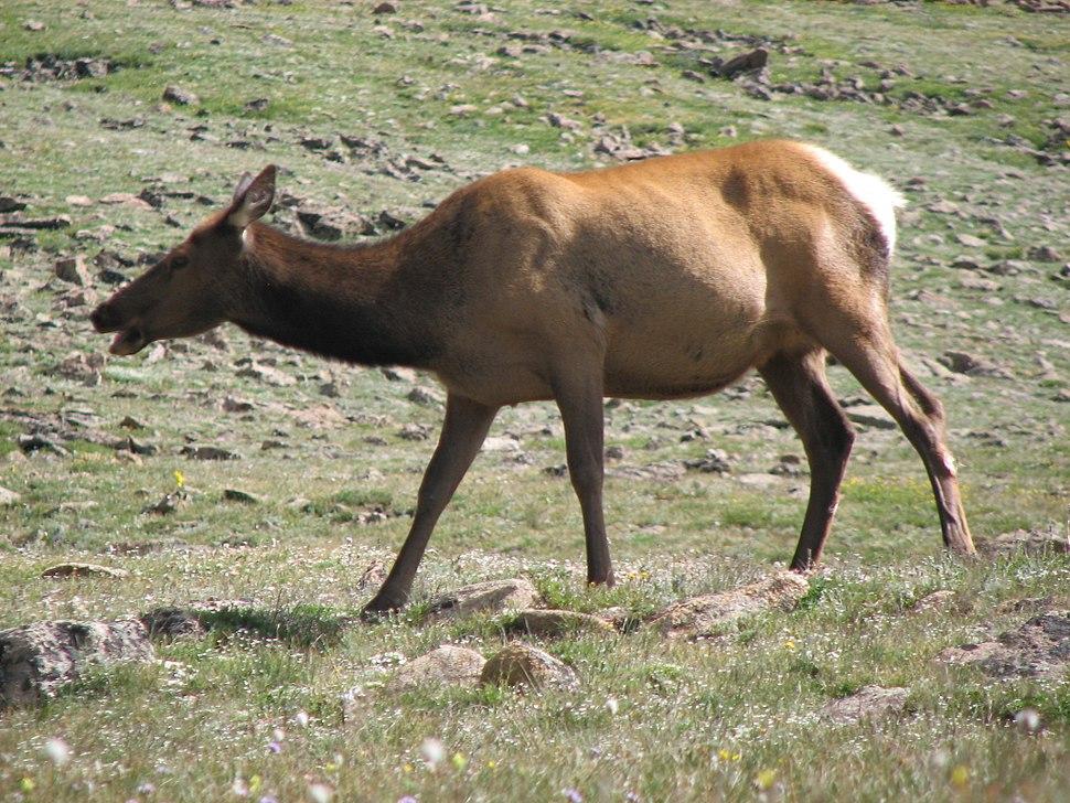 Cervus canadensis (North American elk) 9 (8290359165)