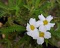 Chamaebatia australis (4520413767).jpg