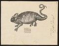 Chamaeleo vulgaris - 1700-1880 - Print - Iconographia Zoologica - Special Collections University of Amsterdam - UBA01 IZ12300033.tif