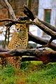 Cheetah Gepard.jpg