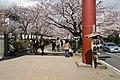 Cherry-Blossoms-Kamakura.jpg