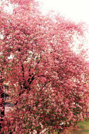 Rajiv Gandhi Indian Institute of Management Shillong - Cherry blossoms in the hostel block