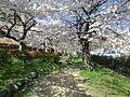 Cherry blossom Takami Ryokudo.JPG