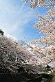 Cherry blossom near Zenpukuji river, Tokyo; March 2008 (14).jpg