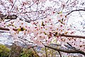 Cherry blossoms at Matsuyama Castle, Ehime Prefecture; April 2017 (17).jpg