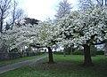 Cherry trees in full blossom. - geograph.org.uk - 399390.jpg