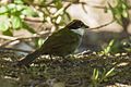 Chestnut-capped Brush-Finch - Panama H8O1225 (23023653439).jpg