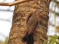 Chestnut tailed starling-kattampally - 6.jpg