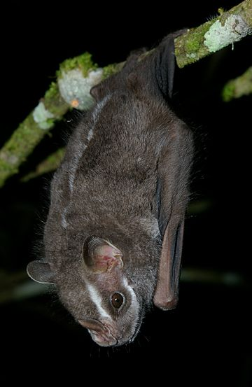 Salvin's big-eyed bat Chiroderma salvini2.jpg