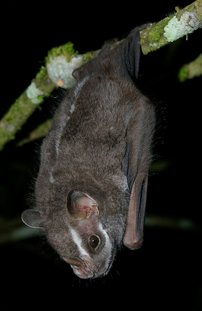 The average adult weight of a Salvin's big-eyed bat is 26 grams (0.06 lbs)