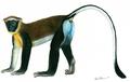 Chlorocebus dryas illustration.png