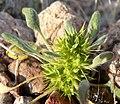 Chorizanthe rigida 6.jpg