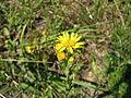 Chrysopsis mariana flower.jpg