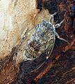 Cicada orni^ Cicadidae. - Flickr - gailhampshire.jpg