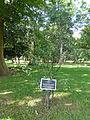 Cinnamomum camphora-Jardin botanique de Kandy.jpg
