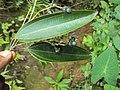Cinnamomum malabatrum at Periya 2014 (3).jpg