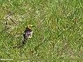 Citrine Wagtail (Motacilla citreola) (15709542678).jpg