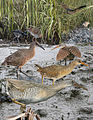 Clapper rail From The Crossley ID Guide Eastern Birds.jpg