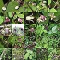 Clematis japonica (Montage).jpg