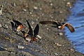 Cliff Swallows Gathering Clay.jpg