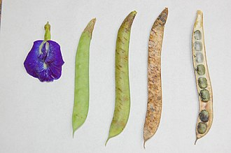 Clitoria ternatea - Flower and pods in different states of ripeness