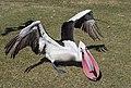 Clontarf Pelican Feeding Time-03 (7400329262).jpg