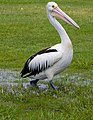 Clontarf Pelican walking through puddles+ (2247534098).jpg