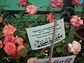 Cluster flowered rose from Lalbagh flower show Aug 2013 8482.JPG