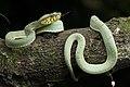 Cobra-papagaio - Bothrops bilineatus - Ilhéus - Bahia.jpg