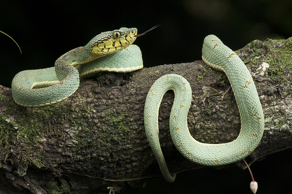Cobra-papagaio - Bothrops bilineatus - Ilhéus - Bahia