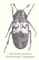 Col-dermestidae-sp.png