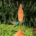 Colibri thalassinus-IMG 9045.JPG