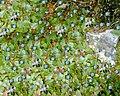 Collage blue flowers.JPG