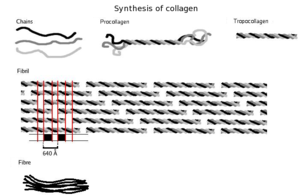 Collagen - Three polypeptides coil to form tropocollagen. Many tropocollagens then bind together to form a fibril, and many of these then form a fibre.
