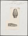Coluber argus - kop - 1837 - Print - Iconographia Zoologica - Special Collections University of Amsterdam - UBA01 IZ11800205.tif
