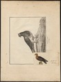 Columba domestica melanoptera (pyrrhulina) - - Print - Iconographia Zoologica - Special Collections University of Amsterdam - UBA01 IZ18900195.tif