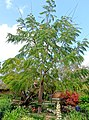 Colvillea racemosa - Mounts Botanical Garden - Palm Beach County, Florida - DSC03829.jpg