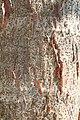 Colvillea racemosa 11zz.jpg
