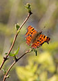 Comma in early spring.jpg
