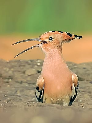 Eurasian hoopoe - From Mangaon, Maharashtra, India