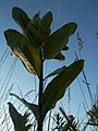 Common Milkweed (Asclepias syriaca) - Guelph, Ontario 2014-07-05 (02).jpg