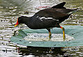 Common Moorhen (Gallinula chloropus) in a Nelumbo nucifera (Indian Lotus) pond W IMG 8779.jpg
