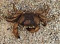 Common Mud Crab.jpg