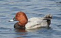 Common Pochard Aythya ferina Male by Dr. Raju Kasambe DSCN9777 (4).jpg